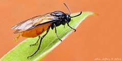 Large Rose Sawfly - Arge pagana (probably) (It's a BUG'S LIFE!) Tags: hymenoptera symphyta argepagana argidae largerosesawfly