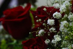 (marinamoia) Tags: red white verde green nature rose flora natureza flor rosa romance vermelha branca florzinha romntica