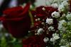 (marinamoia) Tags: red white verde green nature rose flora natureza flor rosa romance vermelha branca florzinha romântica