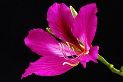 flamboyan_0054a (Joo Batista**) Tags: flower nature natureza flor patadevaca baughinia