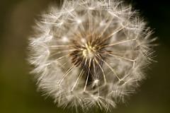 Dandelion (Enigma 80) Tags: dandelion macro clock blow wind seed close up closeup stem plant weed green white yellow brown fragile