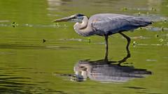 Focus (brev99) Tags: reflection bird nature water pond ngc greatblueheron d7100 tamron70300vc highqualityanimals photoshopelements12