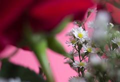 IMG_4169 (Josy'ta) Tags: rose rosas rosascolombianas flowers flores flor diadosnamorados love