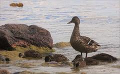 Mallards. (nooragraphs) Tags: sea bird nature outdoors helsinki wildlife balticsea mallard lauttasaari birdphotography sinisorsa