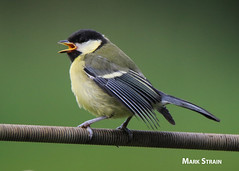 AN9A7415a (Mark Strain.) Tags: wild nature birds animal tit mark great juvenile strain
