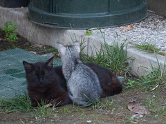 04062016N5 (starezubre) Tags: gatti giardino 2016 gattini mamme giocchi