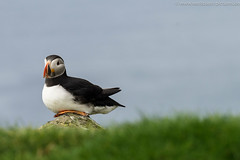 P6100318 (westcoast-pictures.de) Tags: frer inseln puffin papageienvogel