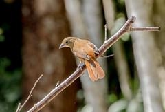 RSS_0899 (RS.Sena) Tags: brazil bird nature forest nikon natureza pssaro atlantic ave birdwatching mata atlntica d7000 sopaulobr