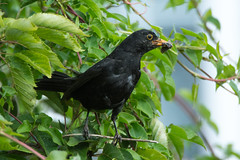 Blackbird (Shane Jones) Tags: bird nikon feeding wildlife blackbird tc14eii gardenbird 200400vr d7200