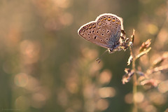 Sunset Blue (ildiklaskay) Tags: macro butterfly insect hungary papillon falter insekt insecte schmetterling commonblue polyommatusicarus rovar hauhechelbluling lepke argusbleu kznsgesboglrka