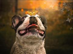 Sur (Mer SGarca) Tags: portrait dog pet art love dogs animal animals familia french retrato bulldog perro fantasy fantasia frenchie frenchbulldog perros animales amo mascotas frenchies dogportrait bulldogfrancs portratir bulldogfrances frenchi frenchis