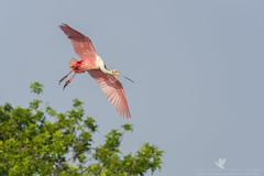 Banking In (santosh_shanmuga) Tags: county pink wild bird beach nature animal outdoors fly flying nikon florida outdoor wildlife birding flight aves palm fl 500mm palmbeach rookery banking spoonbill roseate d3s