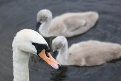 Wchter (wpt1967) Tags: bird swan guard schwan ruhrgebiet wache guardian vogel ruhrpott castroprauxel hckerschwan wchter canon100300mm erinpark eos60d wpt1967