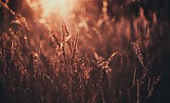 Ich sitze bewegungslos in der Wiese. Auch noch, als die tiefstehende Sonne sie anzndet. (Manuela Salzinger) Tags: summer evening abend sonnenuntergang sundown sommer meadow wiese heat hitze