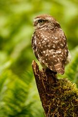 Little Owl Profile (zarlock81) Tags: birds scotland wildlife balloch lochlomond schottland littleowl athenenoctua steinkauz vereinigtesknigreich