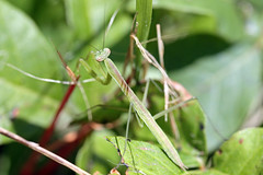 Mantis green (jcantroot) Tags: mantis insect easternneckisland