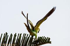 IMG_7082L4 (Sharad Medhavi) Tags: bird canoneod50d birdsandbeesoflakeshorehomes