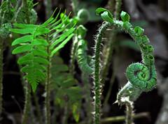 So Wrap Your Arms Around Me (BKHagar *Kim*) Tags: plants fern green nature al alabama athens fiddlehead ferns fronds elkriver bkhagar