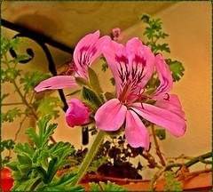 [7001] Pelargonium odoratisimum, Geranium (M.Fahlio) Tags: flower geranium fantasticnature itr awesomeblossoms canonpowershotsx20is pelargoniumodoratisimum