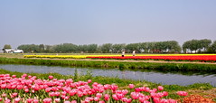Tulips (Frans Schmit) Tags: tulips tulp bollenstreek wonderfulworldofflowers fransschmit