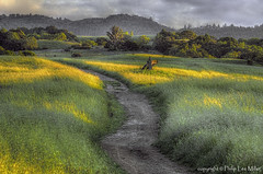 Fields of Gold (philipleemiller) Tags: california trees nature grass clouds landscape trails sunsets hdr rollinghills fieldsofgold arastraderopreserve d7000 daarklands magicunicornmasterpiece topazdetail explored7000