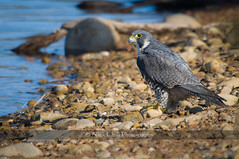 Peregrine at the Lake (Nick Chill Photography) Tags: bird beach nature animal fauna nikon sandiego wildlife stock raptor falcon animalia avian birdofprey peregrine peregrinefalcon lakemurray missiontrailsregionalpark d90 stockimage duckhawk falcoperegrinuspealei peales avianexcellence nickchill nww12