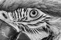 Buddy eye (SGR Photo) Tags: blackandwhite bw usa bird nikon downtown texas tour huntsville places historic photowalk macaw 2012 blueandyellow blueandyellowmacaw tropicalbird d7000 nikond7000 silverefexpro2