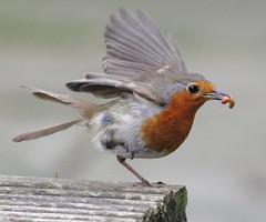 Poor Robin (johno147uk) Tags: bird robin fight leg