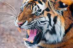 Angry tiger (again) (Tambako the Jaguar) Tags: show wild portrait face female cat zoo switzerland big nikon teeth tiger young angry siberian fangs openmouth impressive amur pissedoff gossau walterzoo d700