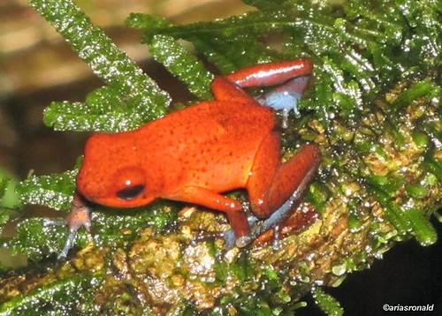 Rana Venenosa Roja (Oophaga pumilio))
