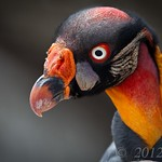 King Vulture / Urubu-rei thumbnail