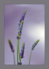Young Lavender (Simon Downham) Tags: blue plants plant green water yard back droplets stem backyard purple head grain young lavender card heads droplet mauve buds greetings bud dsc0372agx7