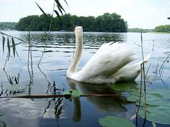 Schwanensee (marion streich) Tags: summer lake water juni see swan wasser sommer insel schwan isle markbrandenburg ruppinersee handselectedphotographs wonderfulplanetearth languagesofeurope grneoasen ruppinerseenland
