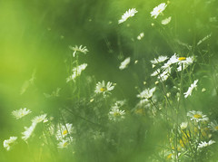 Imagining Summer (http://www.michelagriffith.com) Tags: summer white green daisies hedge daisy yew oxeyedaisies