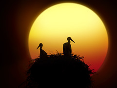 DSCN4776 we don't talk anymore - GETTY IMAGE (pinktigger) Tags: sunset birds silhouette nest digitalart storks ilikeit callingallangels herecomesthesun thegalaxy elitegroup frameit openagain filmfree 10nw natureselegantshots panoramafotogrfico whitegroup thebestofmimamorsgroups bestcapturesaoi sailsevenseasmaster daarklandsexcellence elitegalleryaoi mygearandme mygearandmepremium mygearandmebronze mygearandmesilver mygearandmegold dblringexcellence tplringexcellence 5wonderwall galleryoffantasticshots rememberthatmomentlevel4 rememberthatmomentlevel1 sunrays5 rememberthatmomentlevel2 rememberthatmomentlevel3 me2youphotographylevel2 rememberthatmomentlevel7 me2youphotographylevel3 me2youphotographylevel1 freedomtosoarlevel1birdphotosonly freedomtosoarlevel2birdphotosonly freedomtosoarlevel3birdphotosonly rememberthatmomentlevel9 rememberthatmomentlevel5 rememberthatmomentlevel6 rememberthatmomentlevel8 me2youphotographylevel4 rememberthatmomentlevel10 top25naturesbeauty freedomtosoarlevel3birdsonly freedomtosoarlevel5birdsonly freedomtosoarlevel2birdsonly freedomtosoarlevel4birdsonly freedomtosoarlevel3birsdonly vigilantphotographersunite vpu2 vpu3 vpu4 vpu5 vpu6 vpu7 vpu8 vpu9 vpu10 frameitlevel3 frameitlevel2 frameitlevel4 flickrheartgroup infinitexposure onlymyfavorite flickronmymind