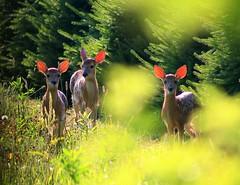 Glow Babies (William  Dalton) Tags: backlight sunrise glow deer explore pennslyvania odocoileusvirginianus whitetaildeer explorefrontpage explorepage1 explore84 explore25 hawkmountainpa orwigsburgpa