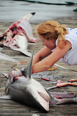 cuting a shark (faungg's photos) Tags: travel woman usa fish shark us big fishing nikon south documentary scene southern event cutting rodeo  vr journalistic 2012 dauphinisland  18200mm  d90  newsstyle deepseafishingrodeo     deepseafishingrodeo2012