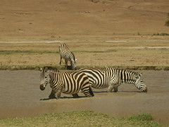 zebra drinking from a river (Real Africa) Tags: africa wild tanzania kenya running safari zebra herd grazing safarianimal