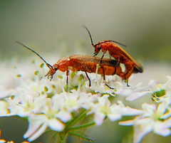 Soldier Beetles (oldt1mer) Tags: red england orange flower macro insect eyes sony beetle insects mating beetles antenna sthelens soldierbeetle soldierbeetles carrmill thegalaxy a65 rhagonychafulva carrmilldam mygearandme mygearandmepremium mygearandmebronze mygearandmesilver mygearandmegold sonya65 slta65