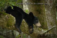 Sleepy Bear Cub (cchoc) Tags: bear fall wildlife prints smokies blackbear cadescove greatsmokymountainsnationalpark stalkinglightphotography