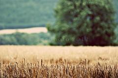 wheat fields (ggcphoto) Tags: ireland sunshine bokeh gettyimages wheatfields treeinafield tipperarytown drywheat gettyimagesirelandq12012