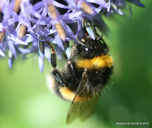 Bumble Bee  on Globe Thistle 2