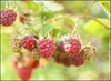 Healthy sweets (Ben Andreas Harding) Tags: light red summer green nature beauty closeup fruit outside healthy berry berries close natural bright sweet august eat raspberry untouched edible fruity shallowdepthoffield rubus smalldof unpicked idaeobatus 35mm18g