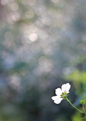 {Flower's Bokeh World} (Farmgirl18) Tags: white blur flower macro green rain canon drops stem blossom bokeh 100mm petal bloom backlit specular highlight cosmos bokelicious