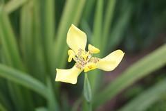 Boomz flower