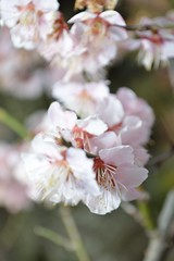 Plum flower At Furoen (kzmiz) Tags: life park festival garden plum yamanashi eternal kofu sakaori furoen nikond800e