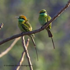 Green Bee-eater,  Merops orientalis orientalis, (Graham Ekins) Tags: goa meropsorientalis greenbeeeater morjimbeach westernindia meropsorientalisorientalis canon1dmkiv grahamekins canon400mmf4isaf