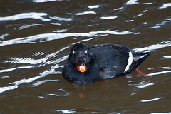 White-winged Scoter, Frontal View (imageClear) Tags: bird nature water wisconsin river duck nikon flickr wildlife unusual sheboygan photostream naturephotography scoter whitewingedscoter birdphotography wildlifephotography seaduck sheboyganriver 8thstreetbridge d7000 imageclear march2014 80400mmafs whitewingedscoterfrontalview