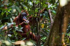 Ratna 4778 (Ursula in Aus) Tags: animal sumatra indonesia unesco orangutan ape greatape bukitlawang ratna gunungleusernationalpark earthasia