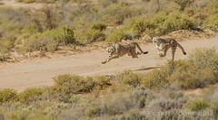 Cheetahs on the hunt (Peter J Moore) Tags: thepinnaclehof tphofweek256